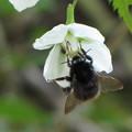 クロマルハナバチ(ミツバチ科)