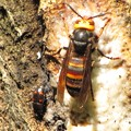 ヨツボシケシキスイ(ケシキスイ科)とオオスズメバチ(スズメバチ科)