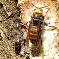 写真: ヨツボシケシキスイ(ケシキスイ科)とオオスズメバチ(スズメバチ科)