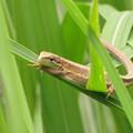 写真: ニホンカナヘビ(カナヘビ科・カナヘビ属)