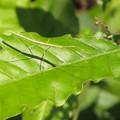 写真: ナナフシ(ナナフシモドキ)の幼虫