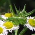 写真: ヤブキリの幼虫(キリギリス科)