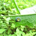 写真: ハグロバチの幼虫(ハバチ科)