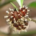 写真: ルリタテハの幼虫