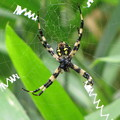 写真: コガネグモのメス