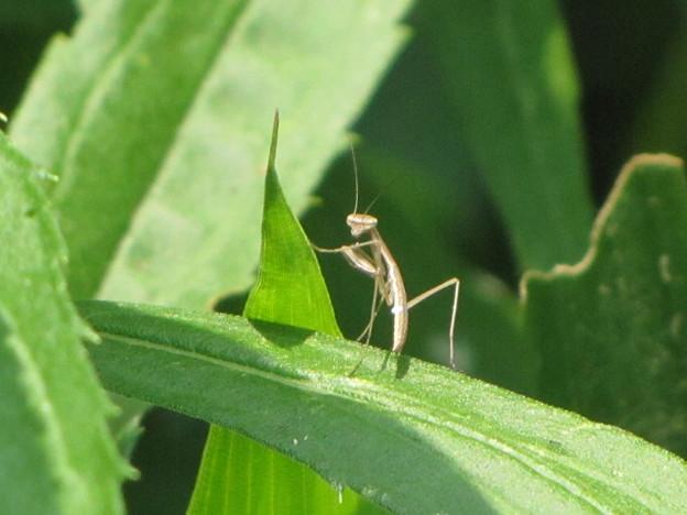 オオカマキリの幼虫