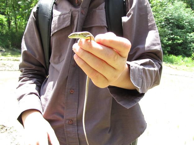 ニホンカナヘビ(カナヘビ科)