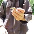 写真: ニホンカナヘビ(カナヘビ科)