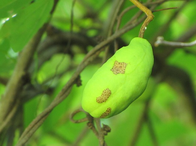 アケビの果実