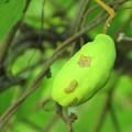 写真: アケビの果実