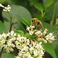 コマルハナバチのオス(ビツバチ科)