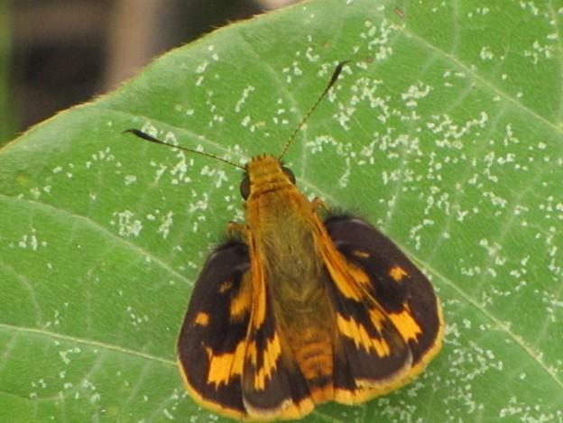 キマダラセセリ(セセリチョウ科)
