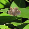写真: ツバメシジミのメス