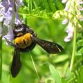 写真: クマバチのメス