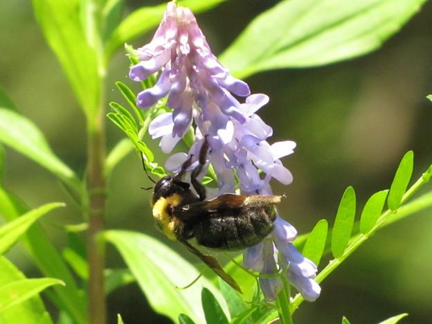 写真: クマバチ(ミツバチ科)