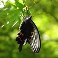 写真: クロアゲハ(アゲハチョウ科)
