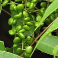 ハゼノキの果実(ウルシ科)
