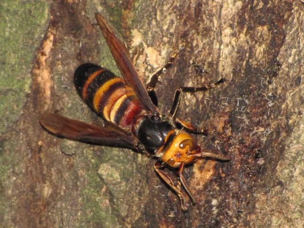 コガタスズメバチ(スズメバチ科・スズメバチ属)