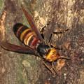 写真: コガタスズメバチ(スズメバチ科・スズメバチ属)