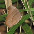 クロコノマチョウ(タテハチョウ科)