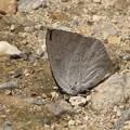 ウラギンシジミ(シジミチョウ科)