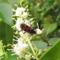 ヒメホシカメムシ(ホシカメムシ科)