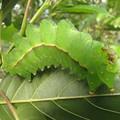 オナガミズアオの幼虫(ヤママユガ科)