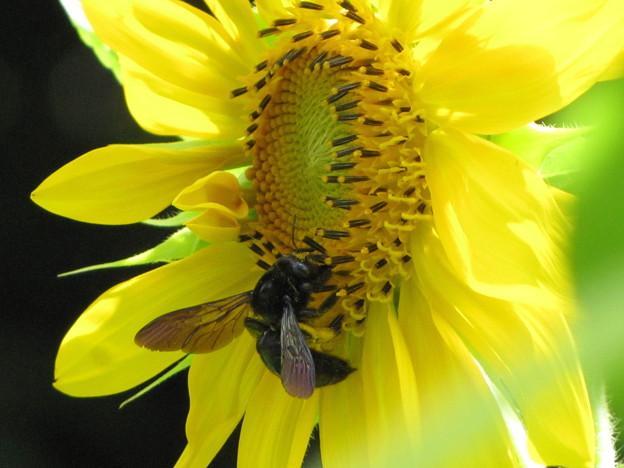 タイワンタケクマバチ(ミツバチ科・クマバチ属)
