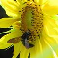 写真: タイワンタケクマバチ(ミツバチ科・クマバチ属)
