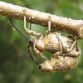 写真: クヌギシギゾウムシ(ゾウムシ科)