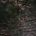 写真: ナガコガネグモのメス