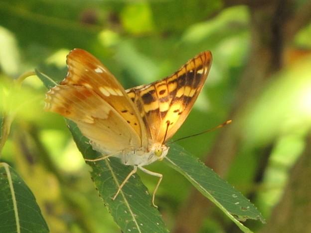 コムラサキのメス(タテハチョウ科)