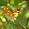 写真: コムラサキのメス(タテハチョウ科)