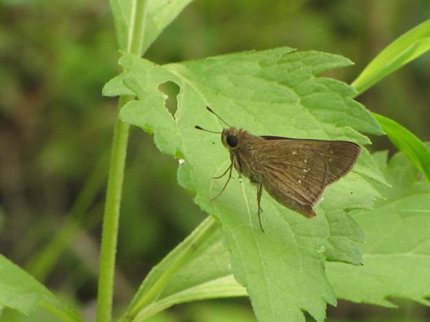 チャバネセセリ(セセリチョウ科)
