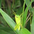 写真: ツチイナゴの幼虫(バッタ科) 元(イナゴ科)