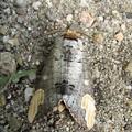 写真: 【2】ムクツマキシャチホコ(シャチホコガ科)