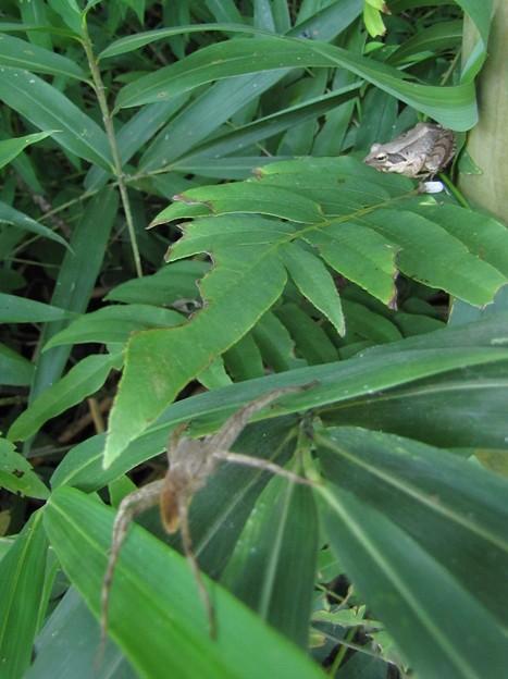 イオウイロハシリグモのメスとアカガエルのオス