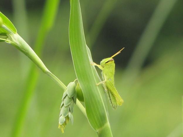 ツチイナゴの幼虫(バッタ科)