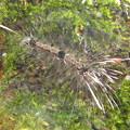 写真: ヨツボシホソバの幼虫(ヒトリガ科)