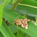 写真: ムラサキツマキリヨトウのメス(ヤガ科)