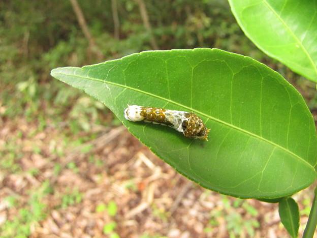クロアゲハの2齢幼虫