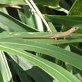 写真: ニホンカナヘビの幼体(カナヘビ科)
