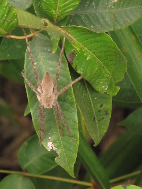 【2】イオウイロハシリグモのメス(キシダグモ科)