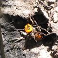 写真: 77オオスズメバチが出て来る