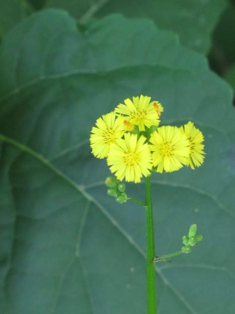 オニタラビコ(キク科・オニタラビコ属)