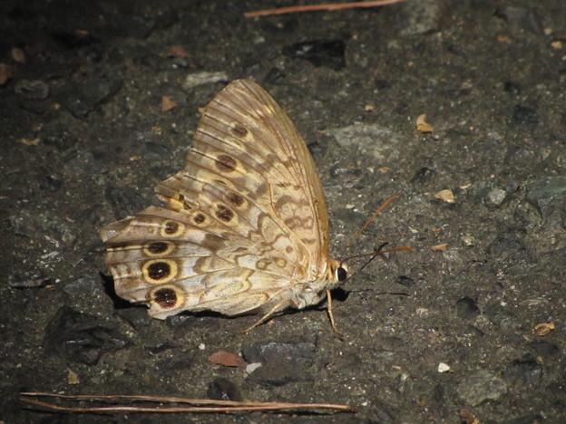 サトキマダラヒカゲの夏型(タテハチョウ科)
