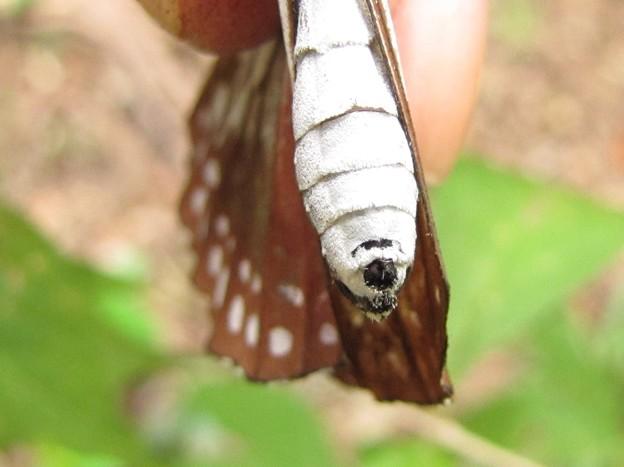 アサギマダラのメス 交尾痕