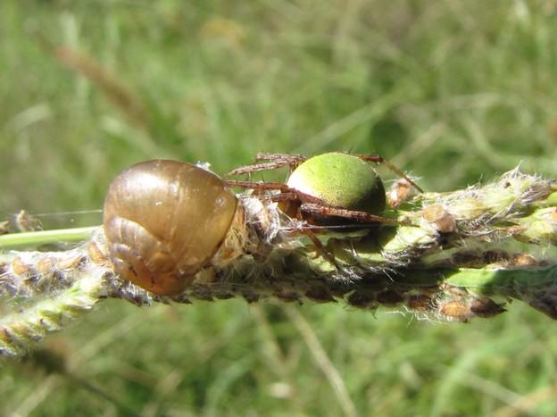 ワキグロサツマノミダマシ(コガネグモ科)