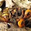 写真: 【2】オオスズメバチの戦い