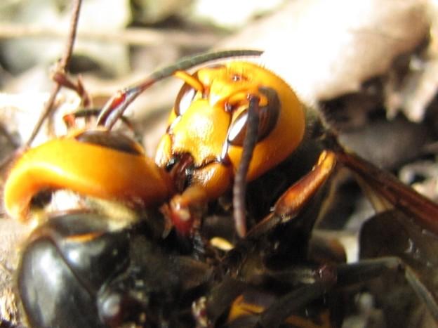 【4】オオスズメバチの戦い